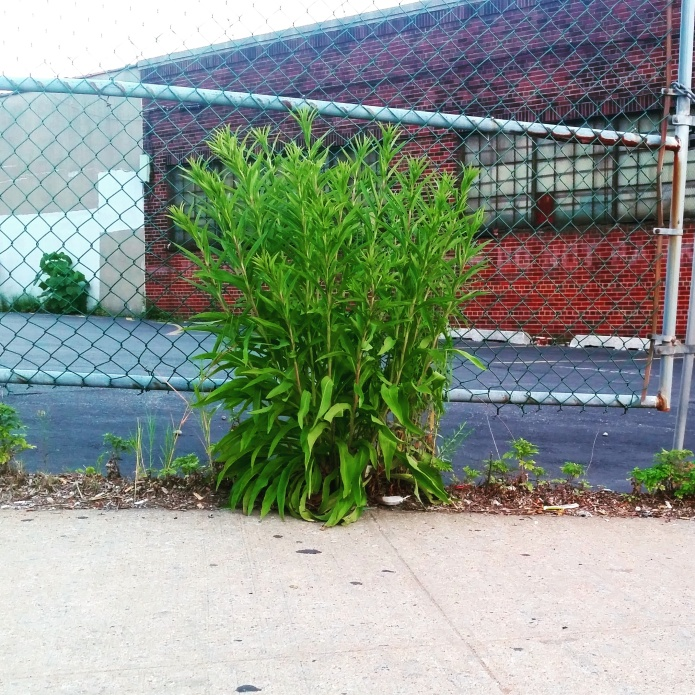 Artemisia vulgaris Mugwort