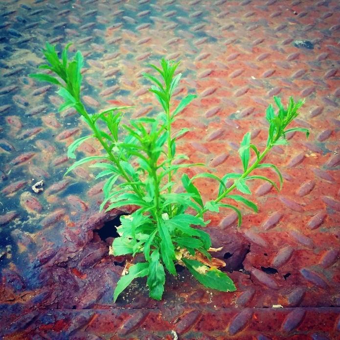 baby Artemisia vulgaris Mugwort