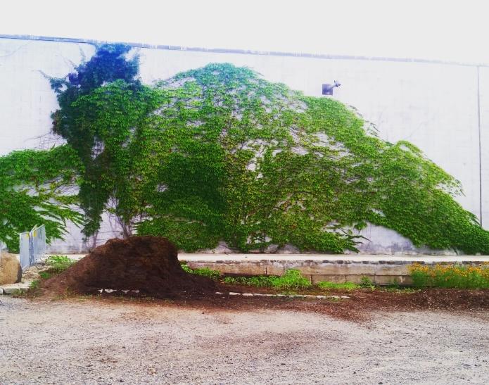 Parthenocissus tricuspidata Boston Ivy