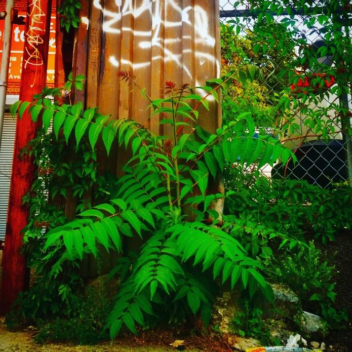 Rhus typhina syn. R. hirta, the staghorn sumac