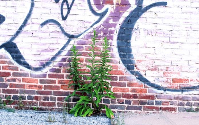 Primrose Graffito_2.jpg