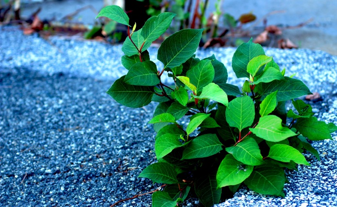 6.Japanese Knotweed.JPG