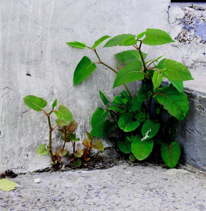 baby-knotweed_edited.jpg